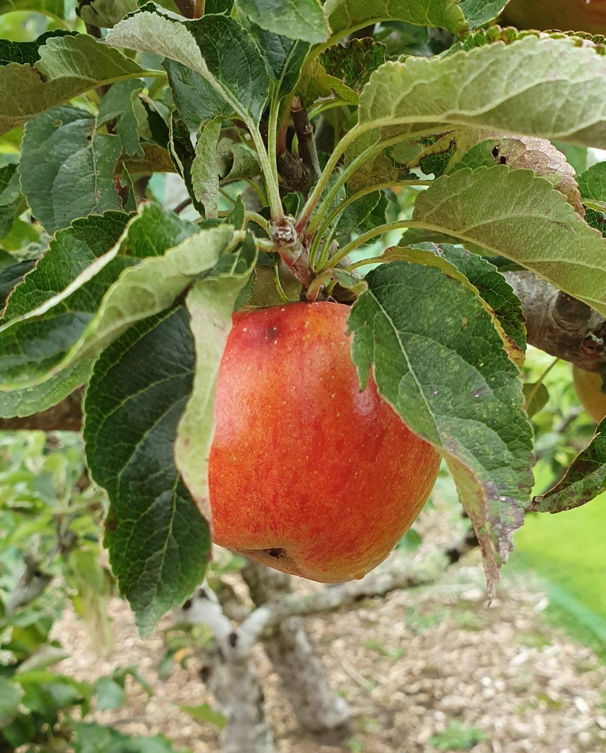 Eat The Season - Apple; Sinead Delahunty; Delalicious